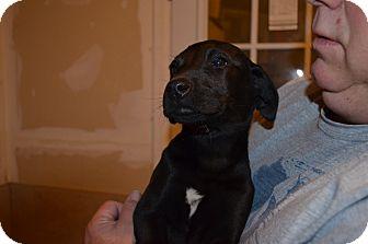 Labrador Retriever Mix Puppy for adoption in Westminster, Colorado - Venus