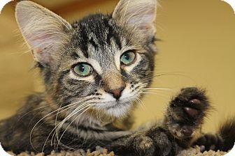 Maine Coon Kitten for adoption in Battle Creek, Michigan - Rosie