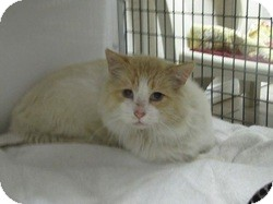 Domestic Mediumhair Cat for adoption in Edmonton, Alberta - Bachman