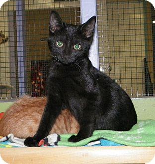 Domestic Shorthair Kitten for adoption in Dover, Ohio - Razin