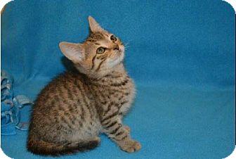 Domestic Shorthair Kitten for adoption in Walworth, New York - MacGyver