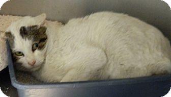 Domestic Shorthair Cat for adoption in Columbus, Nebraska - CJ