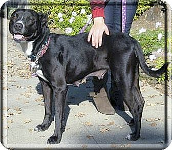 American Staffordshire Terrier/Border Collie Mix Dog for adoption in Sacramento, California - Onyx needs family