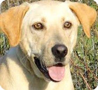 Labrador Retriever Dog for adoption in Winchester, Kentucky - COLBY(THROWN AWAY! PLS READ!
