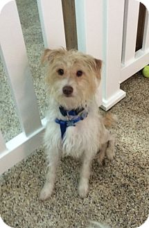 Terrier (Unknown Type, Medium) Mix Dog for adoption in Thousand Oaks, California - River