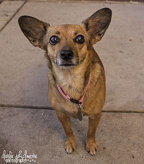 Chihuahua/Dachshund Mix Dog for adoption in Charlotte, North Carolina - Annabelle