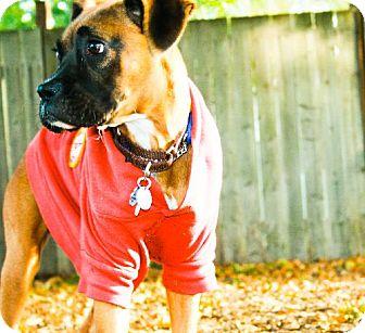 Boxer Puppy for adoption in Eugene, Oregon - Ricky