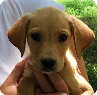 Labrador Retriever Mix Puppy for adoption in Stamford, Connecticut - REESE - petite labby