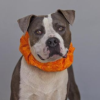 American Staffordshire Terrier Mix Dog for adoption in Mission Hills, California - Chad