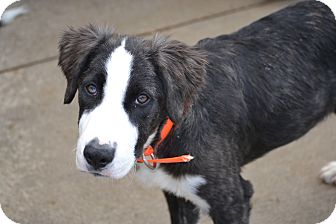 Newfoundland Mix Puppy for adoption in Pikeville, Maryland - Champ