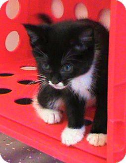 Domestic Shorthair Kitten for adoption in Maynardville, Tennessee - Tux