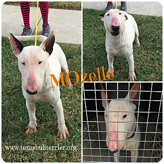 Bull Terrier Puppy for adoption in Houston, Texas - MOzelle