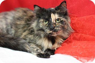 Domestic Mediumhair Cat for adoption in Midland, Michigan - Pagani