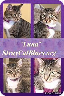 Domestic Shorthair Cat for adoption in Colmar, Pennsylvania - Luna