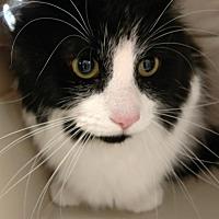Domestic Mediumhair Cat for adoption in Attica, New York - Howard