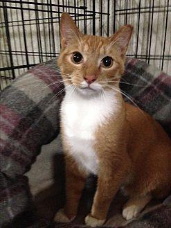 Domestic Shorthair Cat for adoption in Ridge, New York - BRIAN