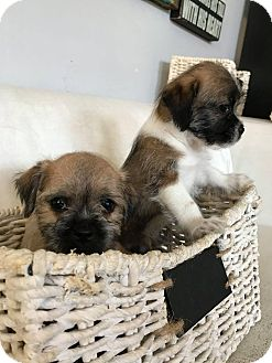 Shih Tzu/Border Terrier Mix Puppy for adoption in Inglewood, California - Five Border Terrier Shih Tzu