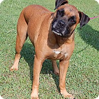Boxer/Retriever (Unknown Type) Mix Dog for adoption in Williamsport, Maryland - Brandi (80 lb) Awesome Girl