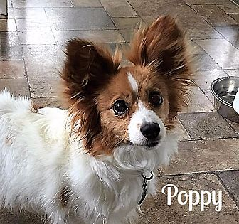 Papillon Dog for adoption in Vernon, Connecticut - Poppy