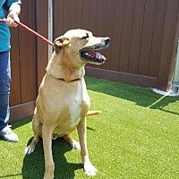 Adopt A Pet :: KODUH A552903 @ VCAR Simi Vall - Beverly Hills, CA