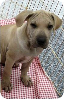 Shar Pei/Mastiff Mix Puppy for adoption in Sacramento, California - Julius big boy