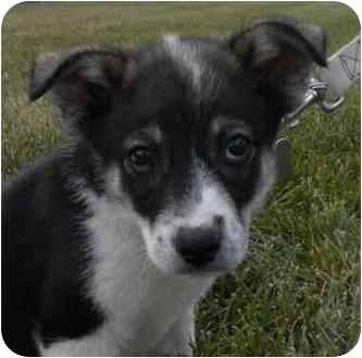 Husky/Labrador Retriever Mix Puppy for adoption in Detroit, Michigan - Daffney-Adopted