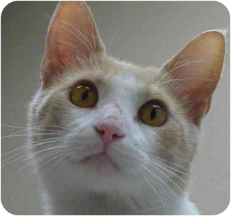 Domestic Shorthair Cat for adoption in Chicago, Illinois - Ernie