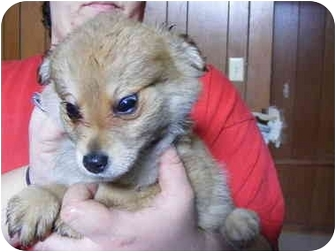 Yorkie, Yorkshire Terrier Mix Puppy for adoption in Rochester, New Hampshire - Rascal
