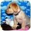 Photo 2 - Terrier (Unknown Type, Small)/Norfolk Terrier Mix Puppy for adoption in Broomfield, Colorado - Julien MacDonald