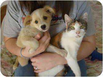 Calico Cat for adoption in Eden, North Carolina - Penelope