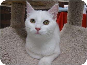 Domestic Shorthair Kitten for adoption in Brea, California - Popcorn