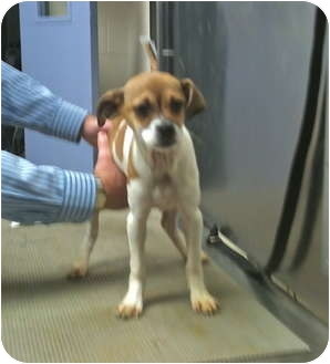 Jack Russell Terrier/Boston Terrier Mix Puppy for adoption in Buffalo, New York - Sandie: 12 weeks
