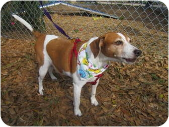 Beagle Mix Dog for adoption in Bradenton, Florida - Freddy
