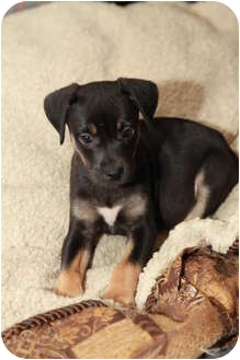 Labrador Retriever/Hound (Unknown Type) Mix Puppy for adoption in Troy, Michigan - Hope