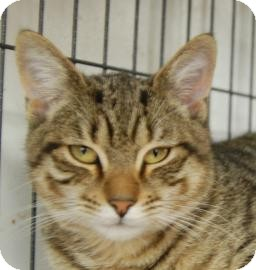 Domestic Shorthair Kitten for adoption in Brooklyn, New York - Ronald
