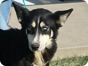 Siberian Husky Dog for adoption in Zanesville, Ohio - Buffy