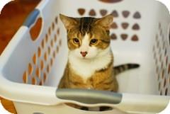 Domestic Mediumhair Cat for adoption in Alexandria, Virginia - Tigger