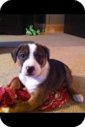 Harrier/Feist Mix Puppy for adoption in Lancaster, Pennsylvania - Ollie Taylor