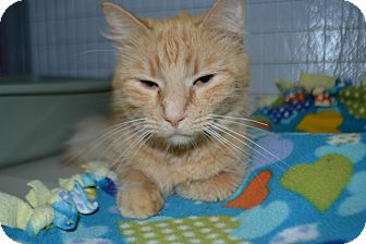 Domestic Mediumhair Cat for adoption in Edwardsville, Illinois - Sunshine