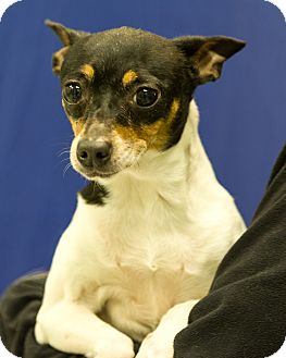 Rat Terrier Mix Dog for adoption in Martinsville, Indiana - Maggie