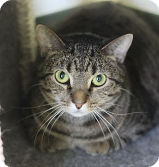 Domestic Shorthair Cat for adoption in Chicago, Illinois - Penny