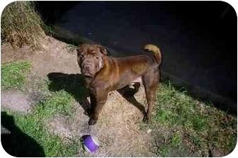 Shar Pei Dog for adoption in Houston, Texas - Hershey