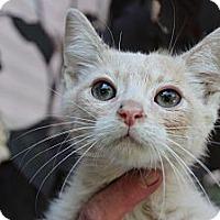 Adopt A Pet :: Soloman - Santa Monica, CA