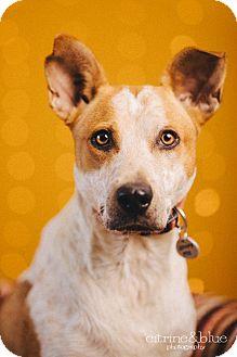 Australian Cattle Dog Mix Dog for adoption in Portland, Oregon - Tiki