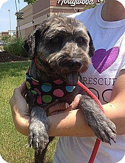 Lhasa Apso/Cocker Spaniel Mix Dog for adoption in Olive Branch, Mississippi - Tessa