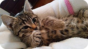 Domestic Shorthair Kitten for adoption in Rochester, Minnesota - Little Lu