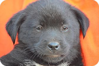 Labrador Retriever/Collie Mix Puppy for adoption in Spring City, Pennsylvania - Emma