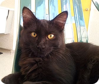 Domestic Shorthair Cat for adoption in Mountain Center, California - Bullets