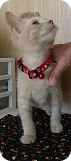 Domestic Shorthair Cat for adoption in Orlando, Florida - Simba