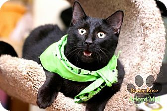 Domestic Shorthair Cat for adoption in Sterling Heights, Michigan - Bentley-ADOPTED